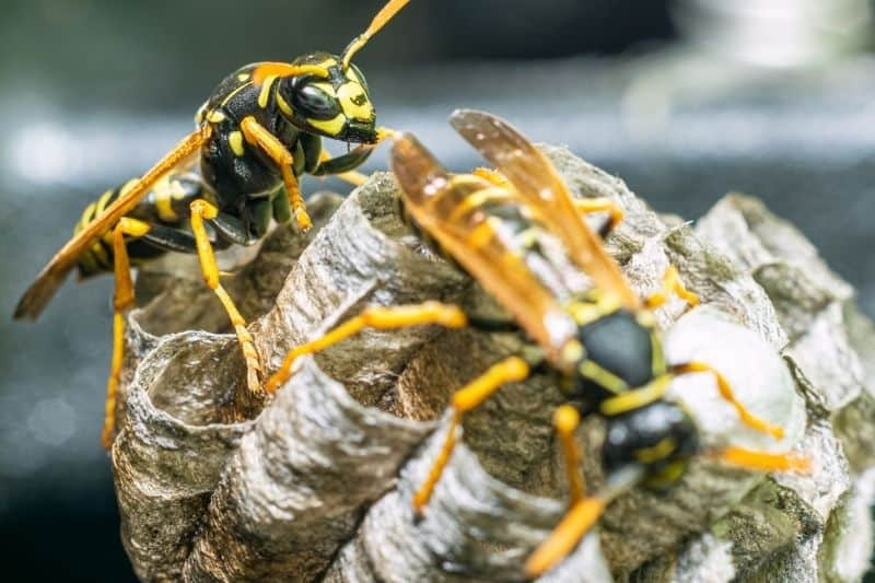 Life Cycle of the Wasp
