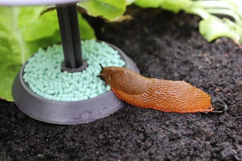 snail on a snail trap